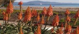Christmas in Santa Barbara with brilliant Red Hot Pokers   Marsha J Black