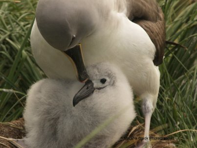 Close-up of Albatross mother grooming her chick on Ramirez Island, Chile in Drakes Passage near Antarctica   Marsha J Black