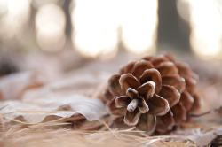 Fir cone in the woods
