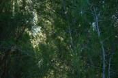 elegant pines in the wind