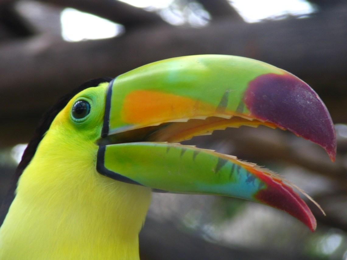 toucan-bird-1402299