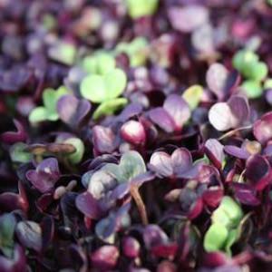 Rambo Radish • Vitality Farms • Lakeland, FL • Vegetable Confetti • Micro Greens