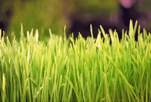 Wheatgrass full of antioxidants