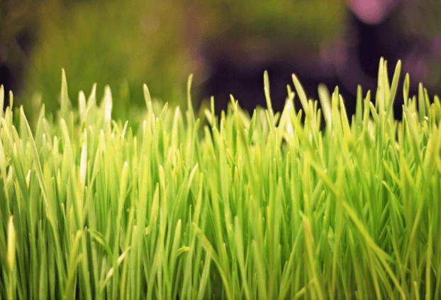 Be Your Own Wheatgrass Farmer