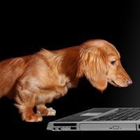 Dachshund puppy looking fascinated by a laptop.