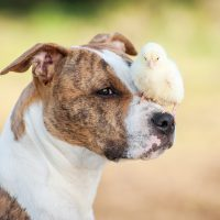 American staffordshire terrier dog  with a chick sitting on its nose