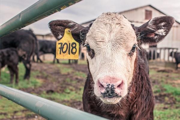 Photo of cow in pen