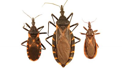 Kissing bugs are not as friendly as they sound