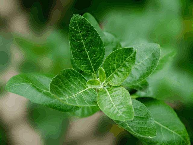 ashwagandha Ashwagandha - Benefits For Men Testosterone