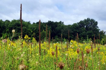 Faded Mullein and Bursting Goldenrod
