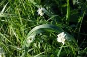 Diamond Dew and White Wildflowers