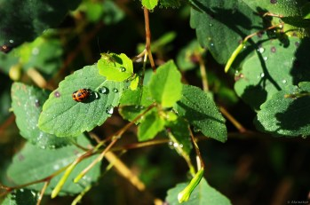 Two Bugs on Jewelweed