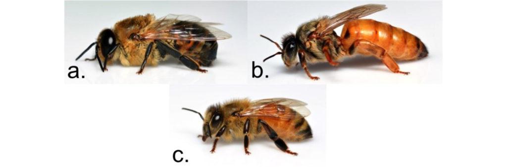 Differenza tra ape regina, fuco e ape operaia