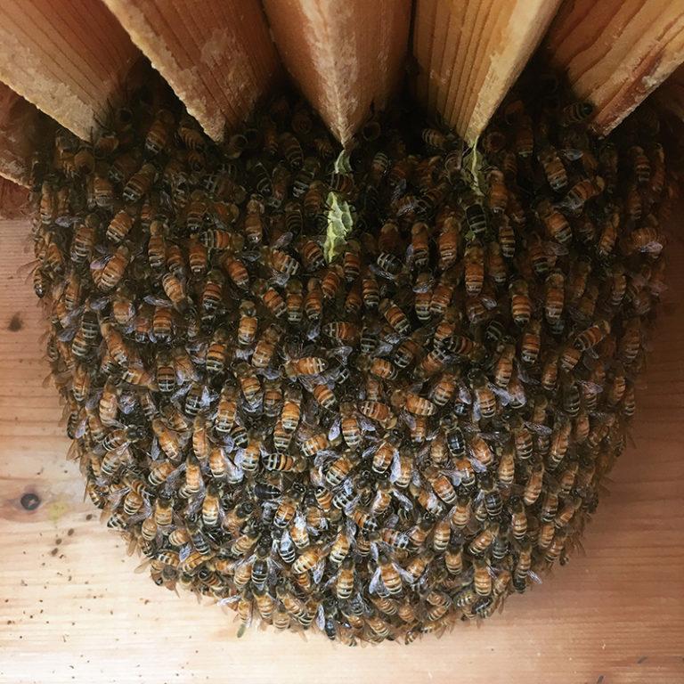 Glomere di api in inverno