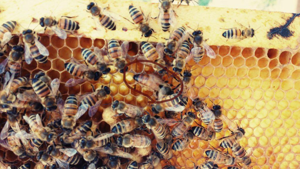 ape regina api operaie