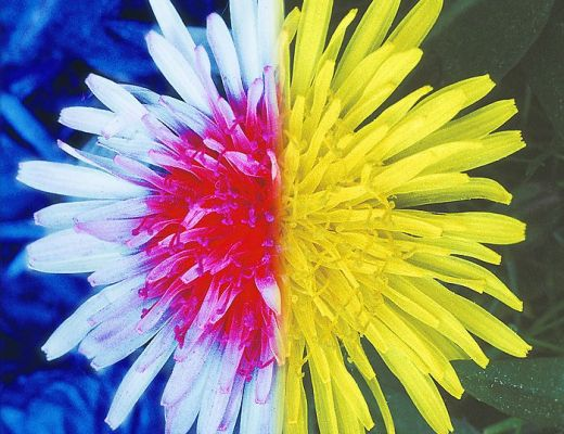 Fiore visto nello spettro di luce ultravioletta.