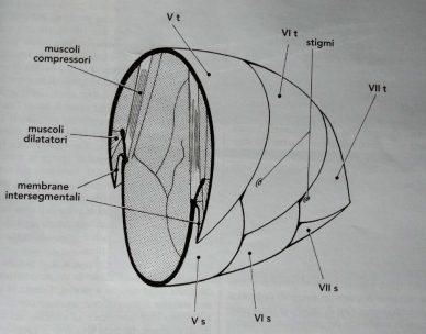 Sezione dell'addome a livello del quinto segmento. Sono visibili i principali muscoli di volo. (Contessi)