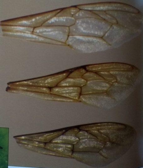 Ali di fuco (in alto), ali di una regina (al centro) e ali di un'ape operaia (in basso)