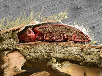 sezione di ape con varroa