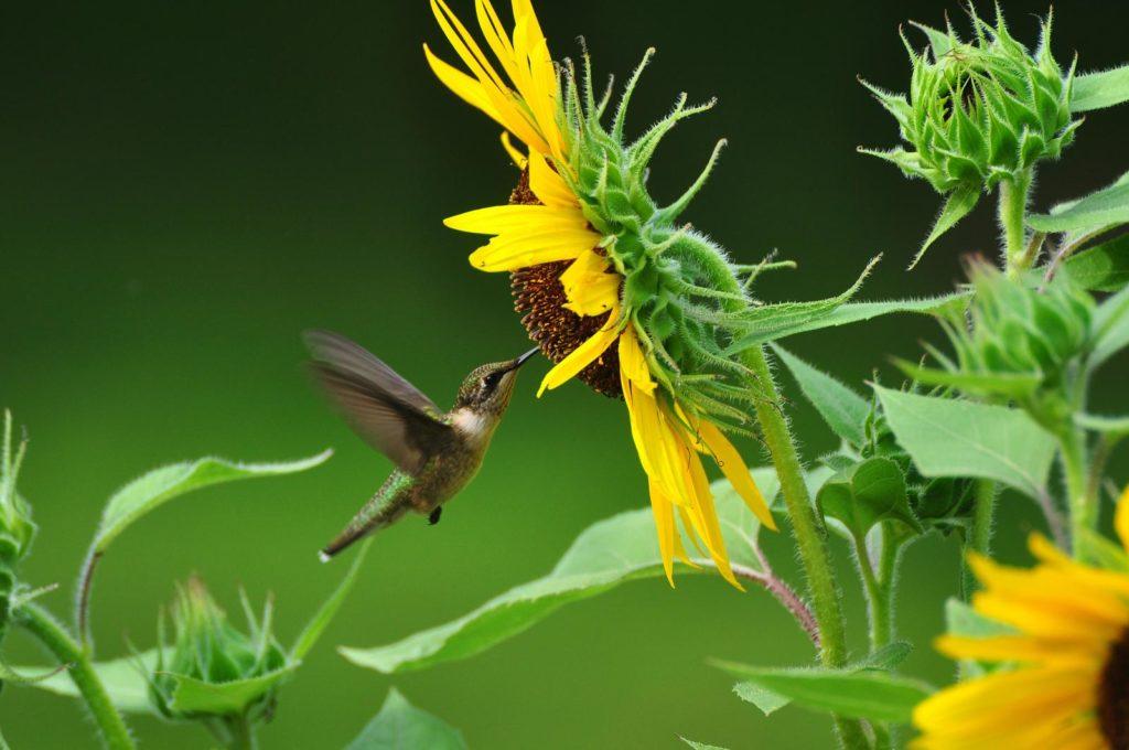 colibrì nettare