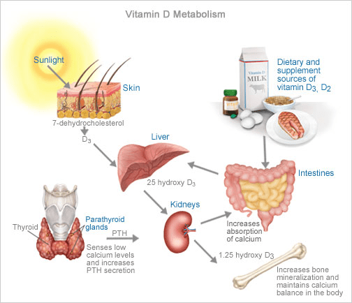 Vitamin D Synthesis In The Body  Vitamin D  Learn About