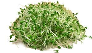 Alfalfa - Makanan Beralkali Untuk Kurangkan Asid Urik Pesakit Gout