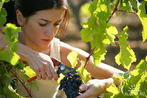 Виноград кишмиш польза и вред полезные свойства зеленого и черного сортов