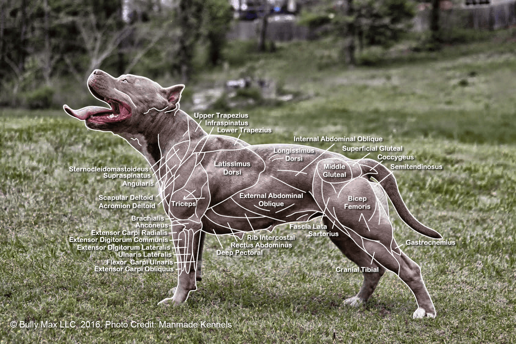 dog diagram outline large towbar plug wiring the muscle anatomy of dogs everything you need to know