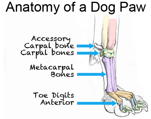 front leg ligament diagram wiring for car stereo f150 dog is limping hurt causes and solutions anatomy of a paw