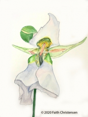 illustration of Mariposa Lily