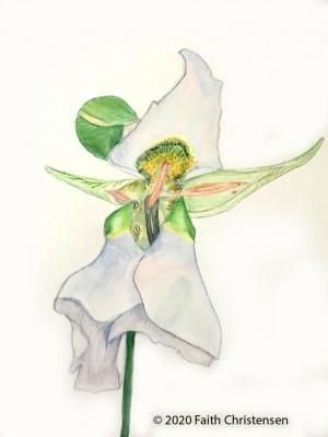 illustration of Mariposa Lily