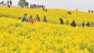 Spring flowers in Awaji Island