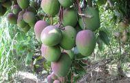 Leyenda: El Negro que tumbó el Mango Embrujado