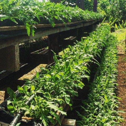 Herbs-and-Greens-at-Hacienda-Okra