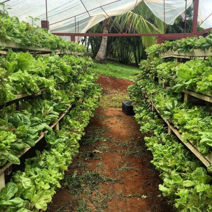 Herbs and Lettuce at Hacienda Okra