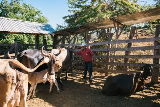 Oxen on the Farm