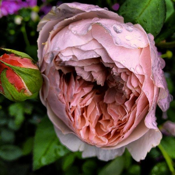 Rose antiche  Vivai della Colombara