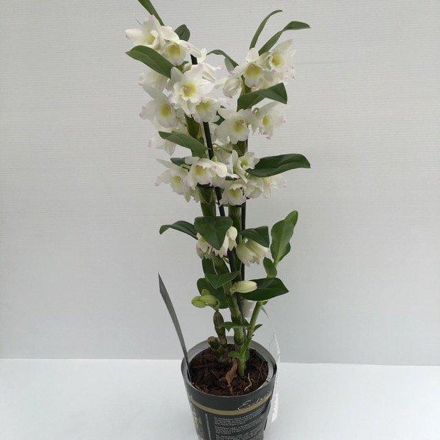 Dendrobium ORCHIDEA BAMBOO  Vivai Frappetta Roma