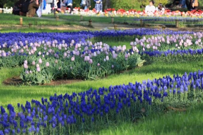 tulip garden in japan