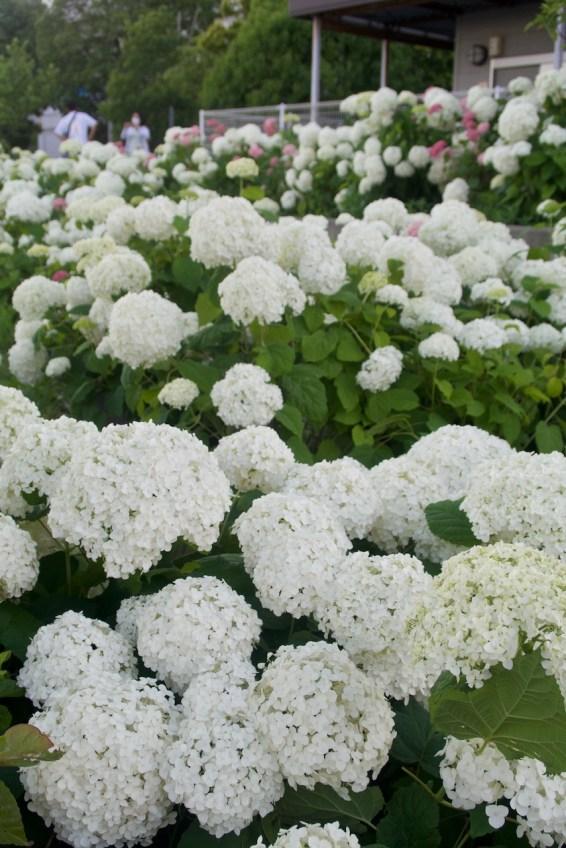 hydrangea garden, odaiba