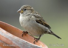 house-sparrow-vrabec_dom_female