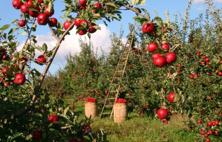 apple, orchard, apple trees