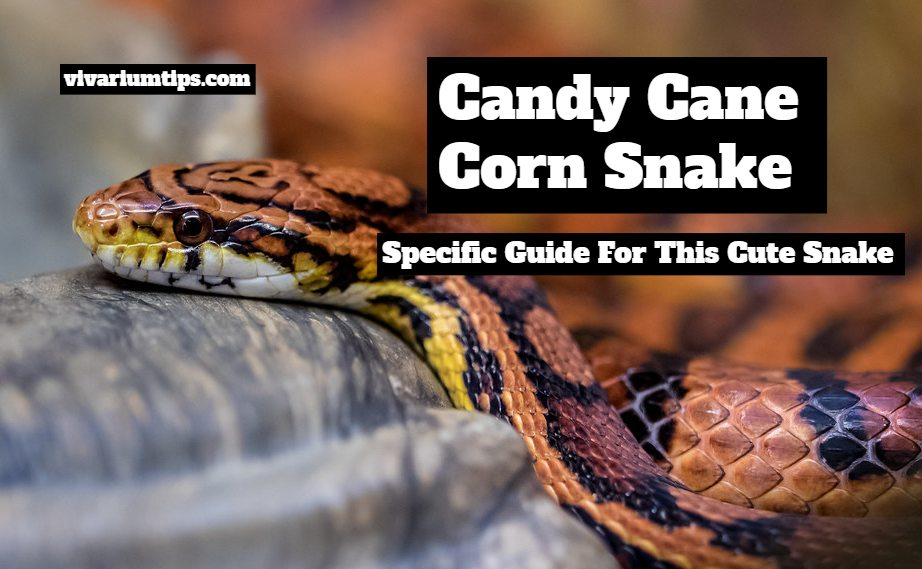 candy cane corn snakes