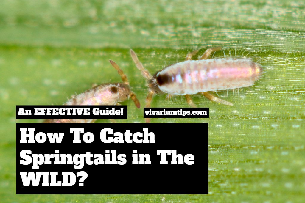 how to catch springtails in the wild guide