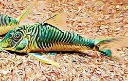 Corydoras Geoffroy