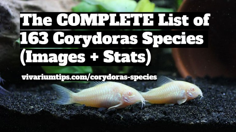 corydoras species
