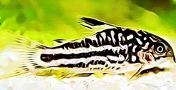 Corydoras Nanus