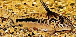 Corydoras Sipaliwini