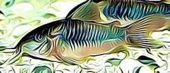 Corydoras Aeneus