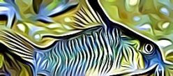 Corydoras Armatus